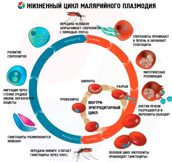 módszer malária paraziták kimutatására giardiasis ascariasis opisthorchiasis