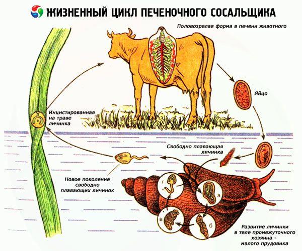 Fascioliasis invázió forrása, Magas páratartalmú paraziták