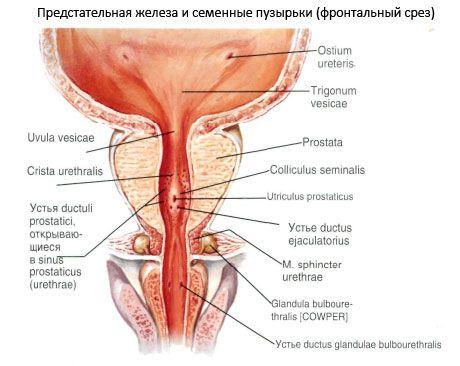 A Calcinate egy prosztata fibrózis A prosztatitis kezelése a férfiak népi módszereiben