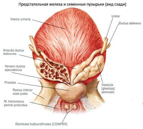 A Calcinate egy prosztata fibrózis